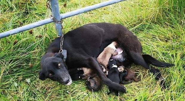 Mamma cane abbandonata e incatenata con i cuccioli appena nati in Irlanda