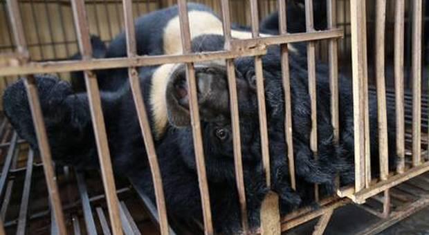 Uno degli orsi detenuti nelle cosiddette