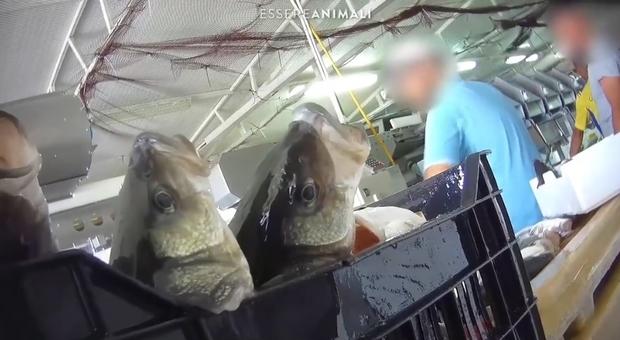Orate e spigole. Cosa c'è dietro gli allevamenti greci che esportano in Italia. L'inchiesta di Essere Animali. (immagini di Essere Animali pubbl su FB)