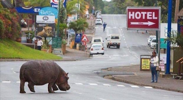 Un ippototamo in strada a Santa Lucia, in Sudafrica (immagine pubbl da stluciasouthafrica.com e Africa Geographic su Facebook)