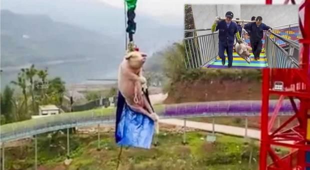 Il povero maiale costretto a fare bungee jumping. (immagini pubbl da The Paper su You Tube e da m.dw.com)