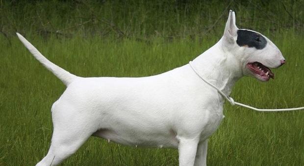 E Cattivo Il Bull Terrier Bull Terrier,: l'incro...