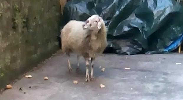 Torino, albanese macella pecora nel cortile di casa. I vicini sotto choc chiamano la polizia