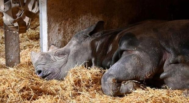 Rinoceronte nero morto di fame e stenti allo zoo francese, la triste storia di Jacob (immagine pubb dalla Ong ReWild su Facebook)