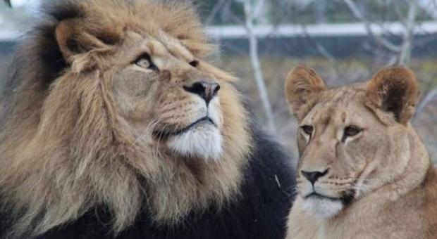Dramma allo zoo. Affiancano due leonesse al leone per la riproduzione. Il leone le attacca e le uccide. (immagine pubblicata da 20 minutes france)