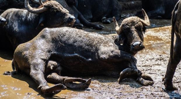 Lo scandalo degli allevamenti di bufale nell'inchiesta di Animal Equality Italia (foto e video)