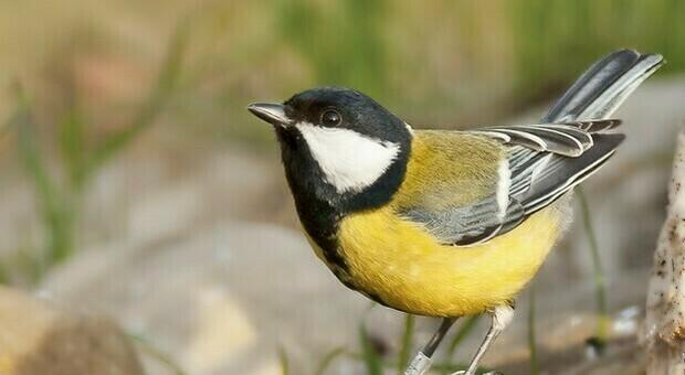 Durante la pandemia è cambiato il canto degli uccelli: «Più vario e sexy»
