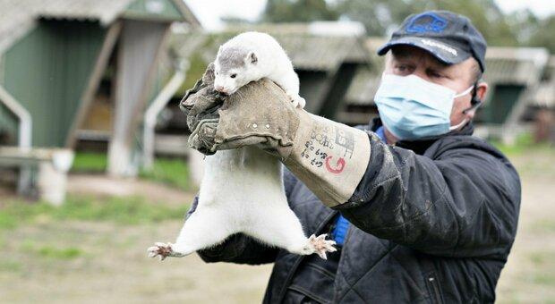 Covid, un visone nello Utah è il primo caso di animale selvatico positivo