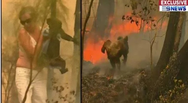 Il drammatico momento del salvataggio del koala Lewis che aveva fatto sperare per il meglio.