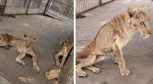 Leoni scheletrici, zoo lager in Sudan. Scatta la campagna: «Salviamoli»
