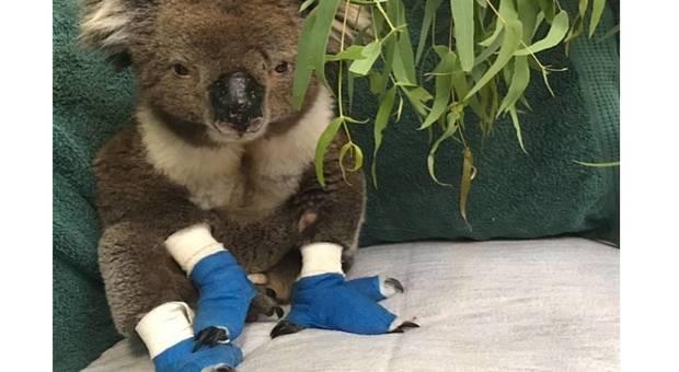 Morto Billy, il koala salvato dalle fiamme, simbolo della tragedia australiana