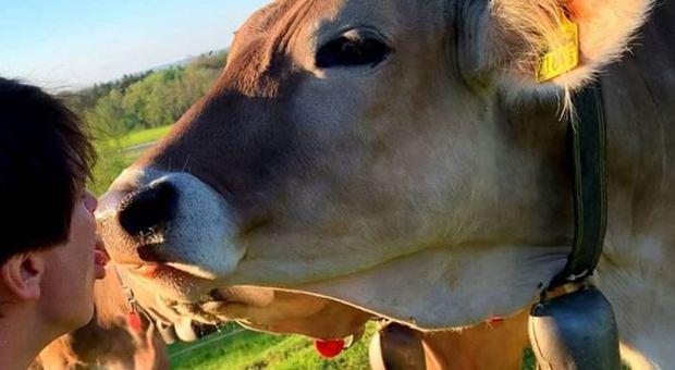«Bacia una mucca». La nuova moda social fa infuriare il ministro austriaco: troppi incidenti
