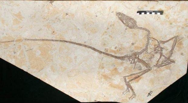 """Dinosauro alato, scoperto il fossile del """"drago danzante"""": «Specie mai vista prima imparentata col Velociraptor»"""