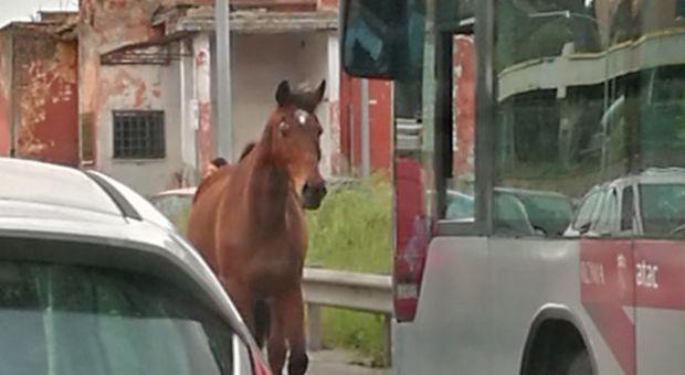 Roma, un cavallo sfreccia sull'Appia e supera l'autobus