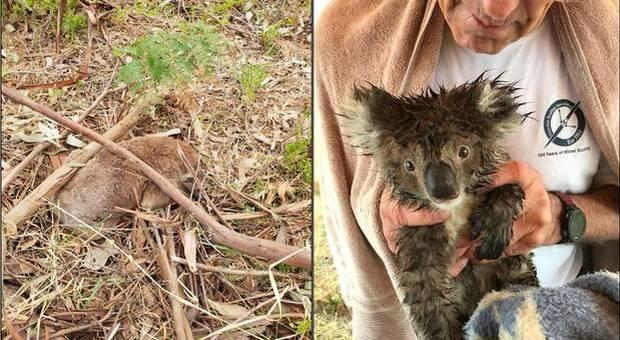 Nuova strage di koala. E stavolta non è colpa degli incendi. (immagini pubbl da Animals Australia su Twitter)