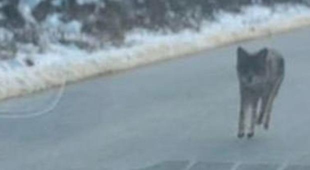Coyote aggredisce bimbo di 2 anni: il papà affronta l'animale a mani nude e lo strozza