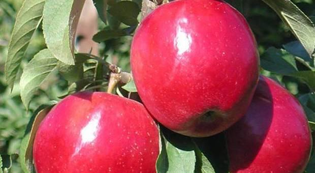 Le mele biologiche fanno bene? Lo studio: «Una sola contiene 100 milioni di batteri»