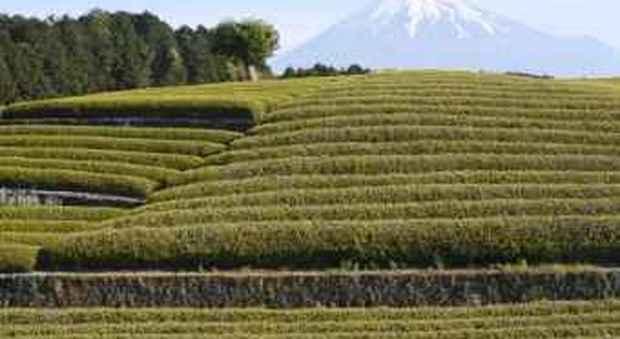 Foglie di tè vendute a 8mila euro al chilo in Giappone