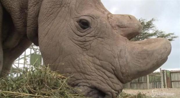 Morto Sudan, l'ultimo maschio di rinoceronte bianco