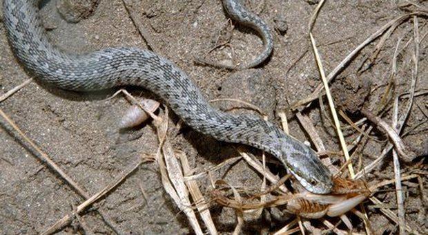 Serpente lo morde alla gamba mentre taglia l'erba in giardino, 36enne grave per choc anafilattico