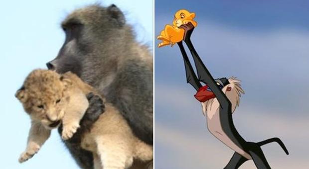 Il cucciolo in braccio al babuino: sembra la celebre scena de Il Re Leone, ma la realtà è più tragica