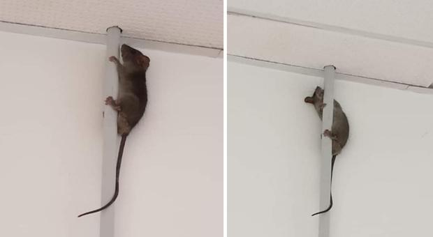 Fabriano, topi nello spogliatoio dell'ospedale: la denuncia degli infermieri