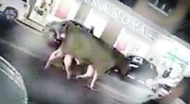 Milano, toro aggredisce una ragazzina di 17 anni mentre va a scuola e la ferisce