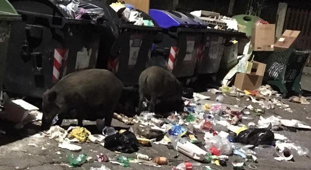 Due cinghiali mentre grufolano accanto ad alcuni cassonetti a Roma