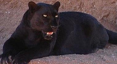 Avvistata pantera nera in giro per le campagne: ricerche in corso