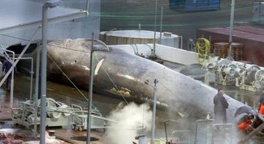 Uccisa la prima balena blu in 50 anni, compagnia finlandese sotto accusa