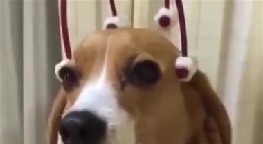 La meravigliosa espressione di questo beagle durante un massaggio Video