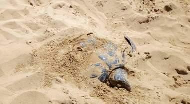 Schiacciata dal trattore mentre depone le uova: così è morta Bianca, tartaruga star di Siracusa