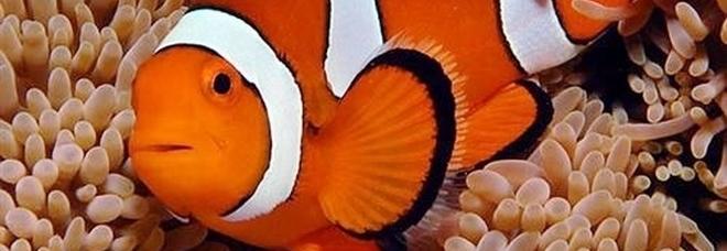 «Nemo a rischio estinzione, potrebbe scomparire dagli oceani per colpa dei cambiamenti climatici»