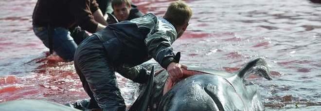 La strage delle balene alle Faroe Islands (immagine pubblicata da Sea Shepherd)