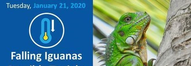 Florida, piovono iguane congelate dagli alberi: autorità preoccupate per il freddo record