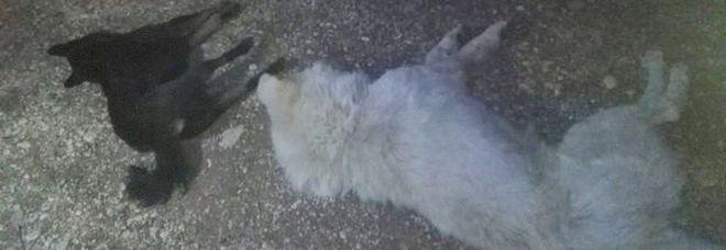 Nove cani da pastore abruzzese avvelenati con la stricnina, 10 minuti di convulsioni