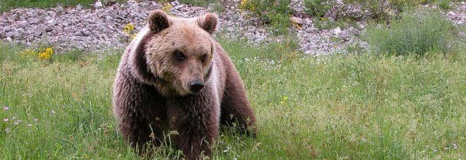 Tragedia nel Parco nazionale:  orso muore durante la cattura