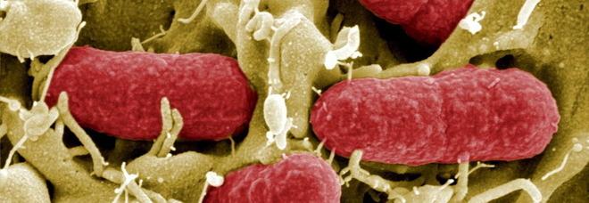 Infarto al cuore, tutto parte da un batterio dell'intestino: un vaccino per curarsi