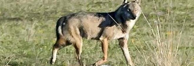 In difesa del lupo: «Non  uccidetelo, fatevi risarcire»