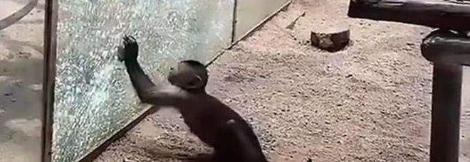 Fuga per la libertà: scimmietta leviga una pietra e sfonda il vetro dello zoo per uscire