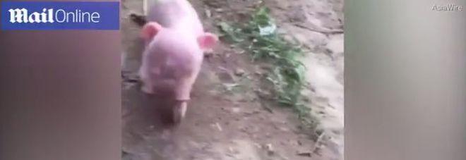 """Il maialino mutante nato con due teste, i proprietari lo """"graziano"""" dal macello"""