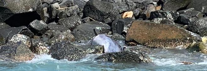 Risveglio triste a Ostia, delfino trovato morto su una scogliera: «Non toccatelo, rischio epidemia»