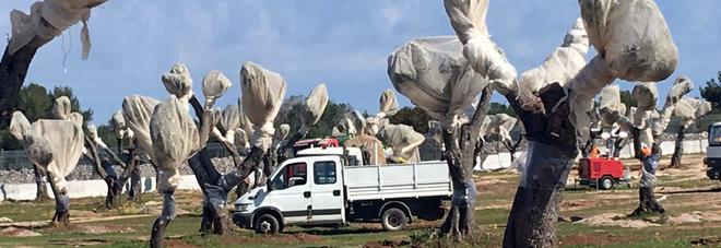 Gasdotto in Puglia, il Tar respinge  il ricorso della Regione:  gli ulivi possono essere espiantati