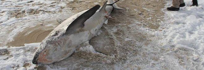 Gelo e temperature choc e gli squali congelano in mare