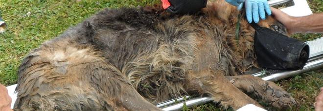 Buttano bocconi avvelenati in giardino, muore splendido pastore tedesco