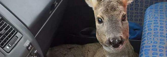 Il capriolo ferito salvato dall'autista dello spazzaneve in Carnia
