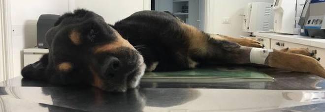 Rocky non ce l'ha fatta, morto il cane maltrattato e abbandonato su un terrazzo
