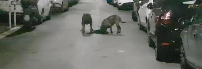 Monteverde choc, due cani sbranano un gatto in strada