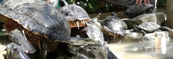 Dannose per l'ambiente: i forestali recuperano 4 tartarughe palustri