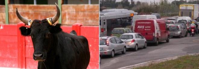 A Roma caos e ingorghi sulla Laurentina, l'Atac: «C'è un toro sulla carreggiata»